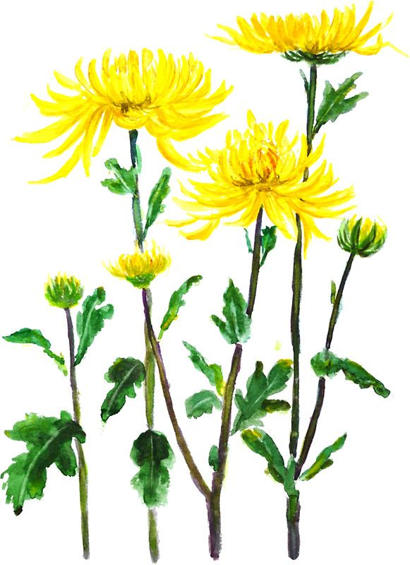 Yellow Chrysanthemum By Colorandcolor In 2020 Yellow Chrysanthemum Watercolor Flowers Chrysanthemum