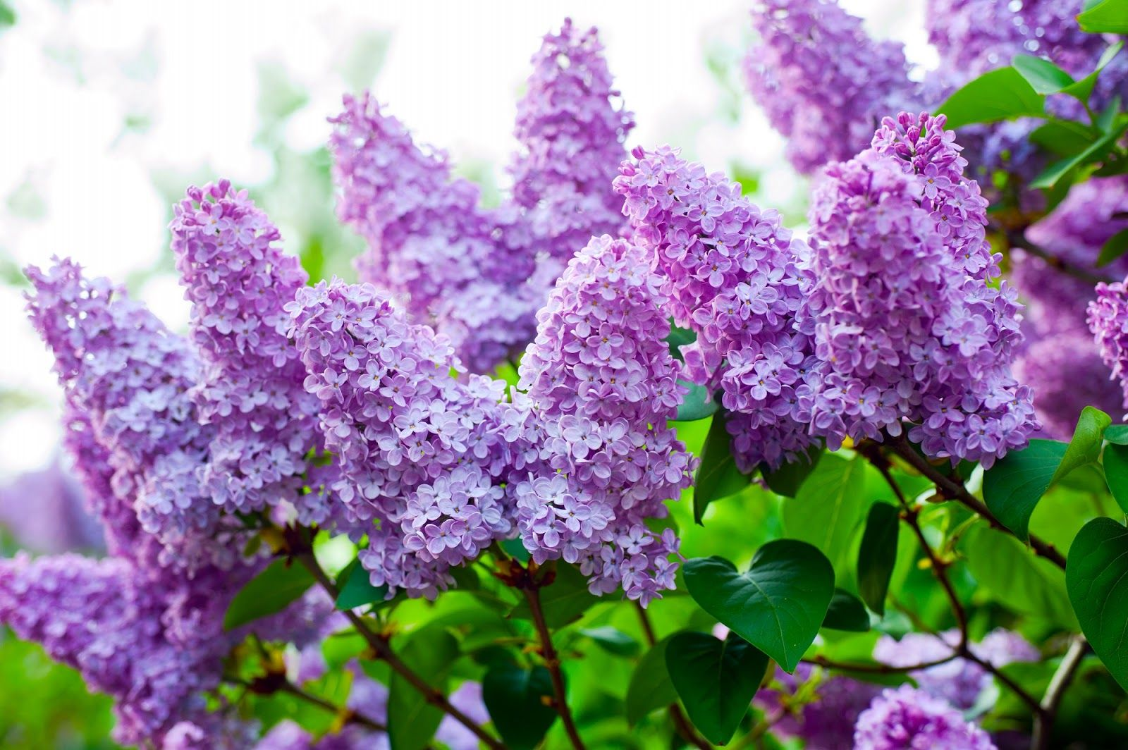 Lilacs Prune At The Right Time Flower Buds Are Formed The Previous Year So Don T Prune Until After The Lilac Has Bloom Lilac Tree Lilac Flowers Lilac Plant