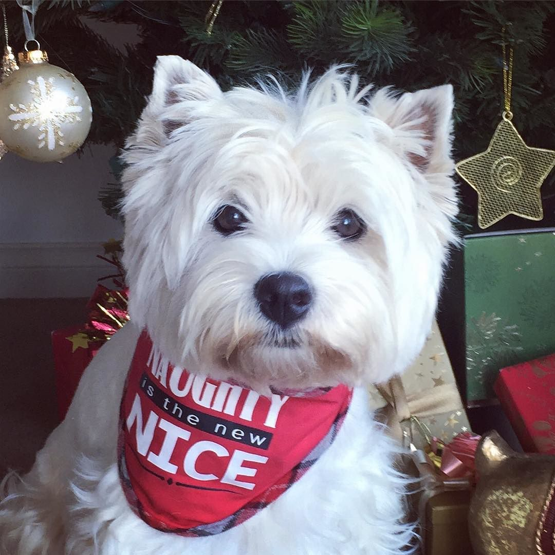 WOT!? I haff too go to bed early tonite?!?! But mom I wanna wait up fur Santa!#longestdsyever . Gud mornin fwends! Happy Cwismas Eve!. . Hope yoo haff a gwate day! Be kind to one anovver . . #westhighlandwhiteterrier #westie #westiegram #dogsofig #whwt #westieapproved #westielove #westietude #westiesofinstagram #westiemoments #westielovers #westieoftheday #cutewestie #dogsofinstagram #barkbox #pupshow #terrier #dogsofmelbourne #melbournedogs #lacyandpaws #dostagram #puppytales #instawestie…