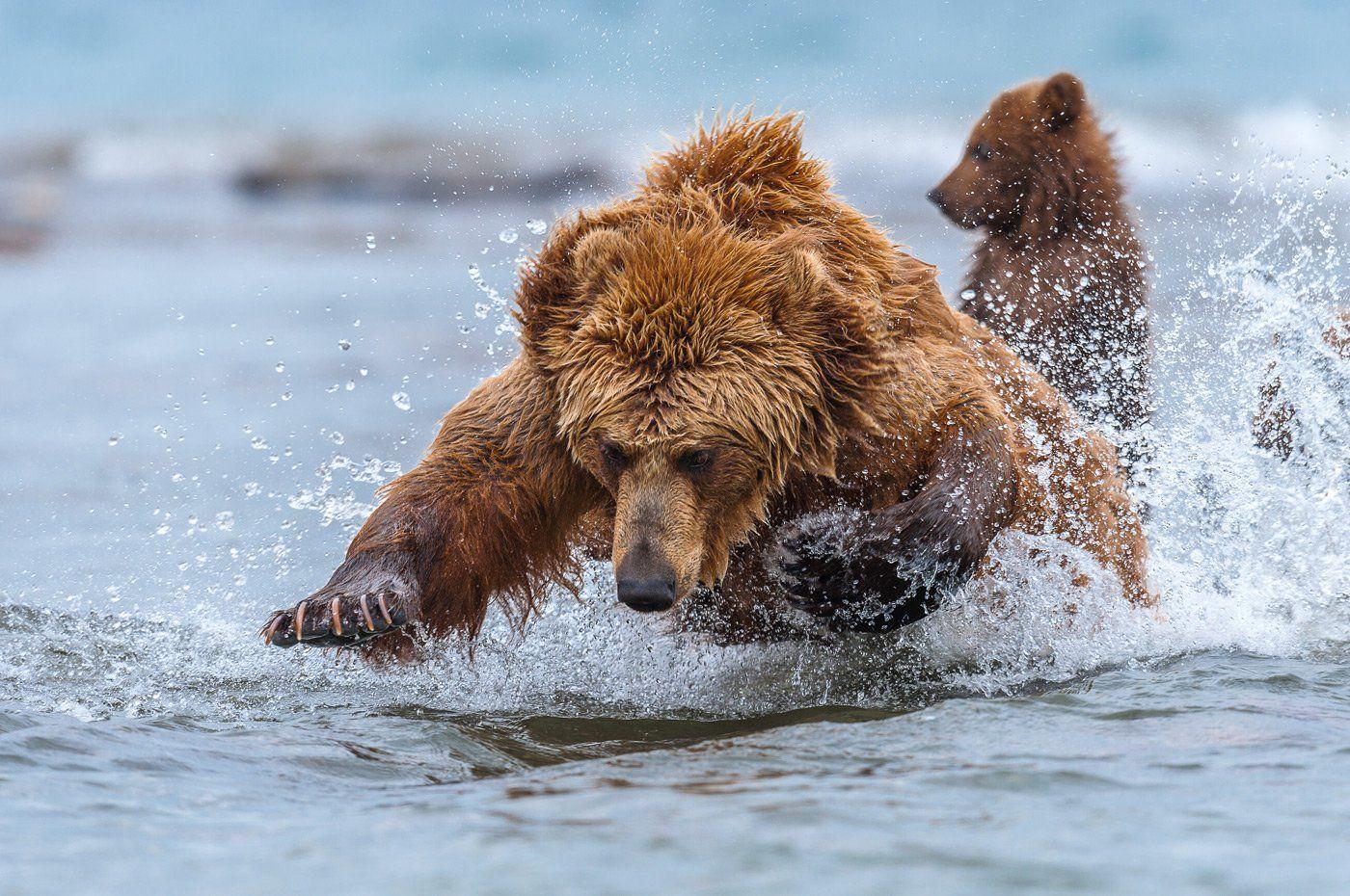 картинки камчатский медведь статье