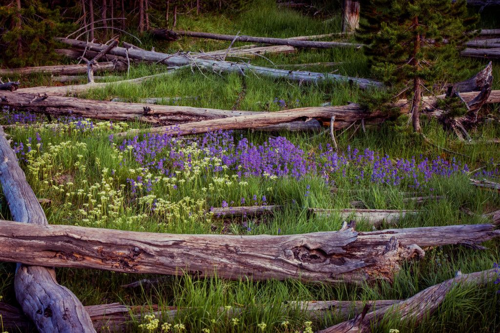 Lupine Flowers And Fallen Trees Lupine flowers, Autumn
