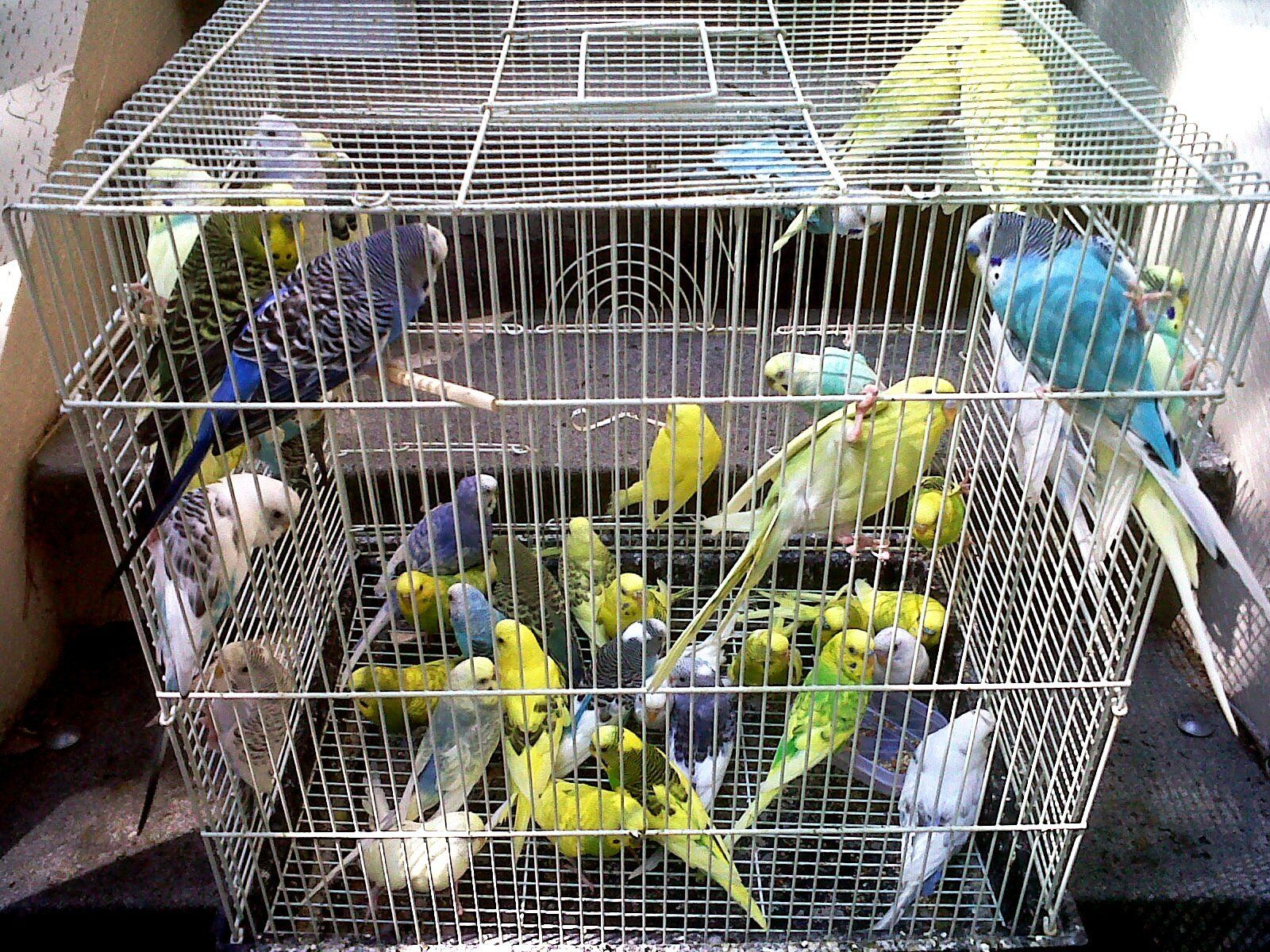 Image result for parakeet parrot as pets