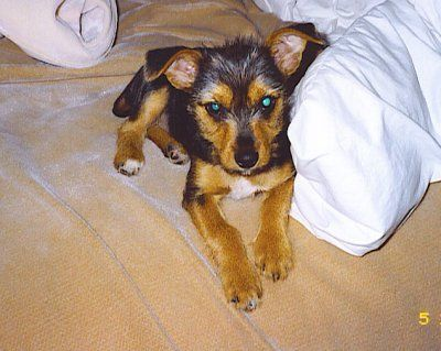 Yorkshire Terrier And Rat Terrier Fuzzy Animals Love