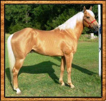 palamino quarter horses