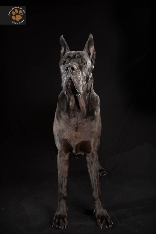 Ransom Is The Mascot For The Great Dane Rescue Of New England I