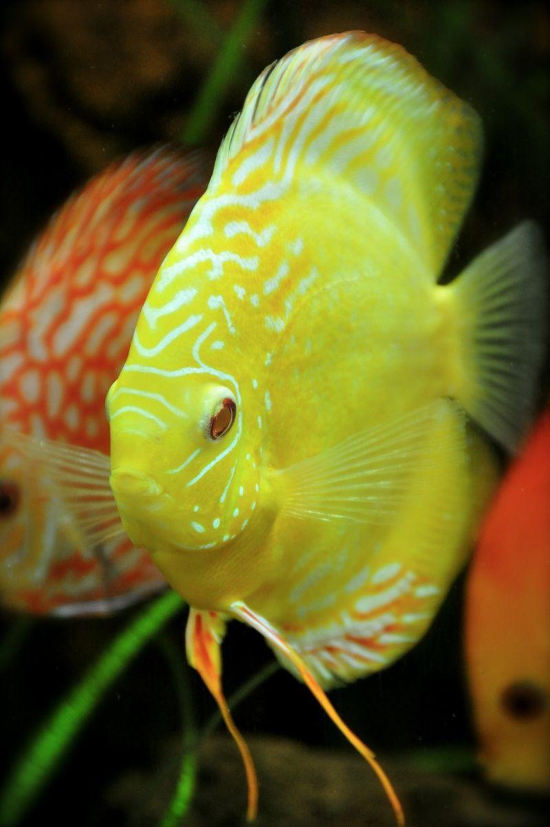 Poisson discus les discus forment un genre de poissons d for Poisson tropicaux eau douce