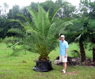 Cold Hardy Palms | Southern Select Palms | Tropical & Indoor Palms ...