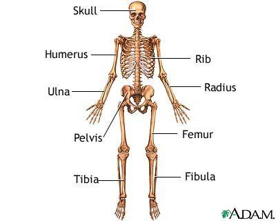 A good bone anatomy refresher. :-)   Anatomy N\' Physiology ...