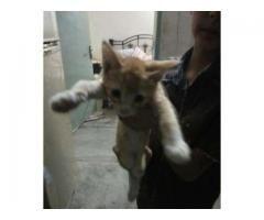 Sami female cat breeder with kitten for sale
