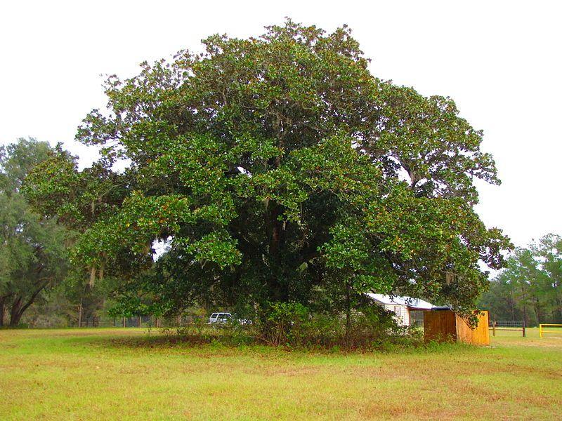 File:Magnolia grandiflora Tree.jpg