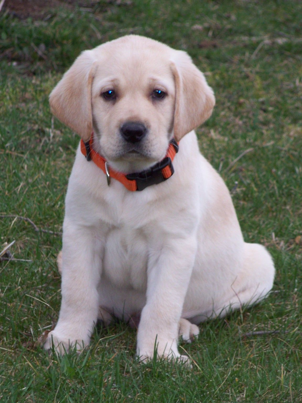 Yellow Lab Dogs For Sale English Yellow Lab Puppies For Sale Google Search Dogs