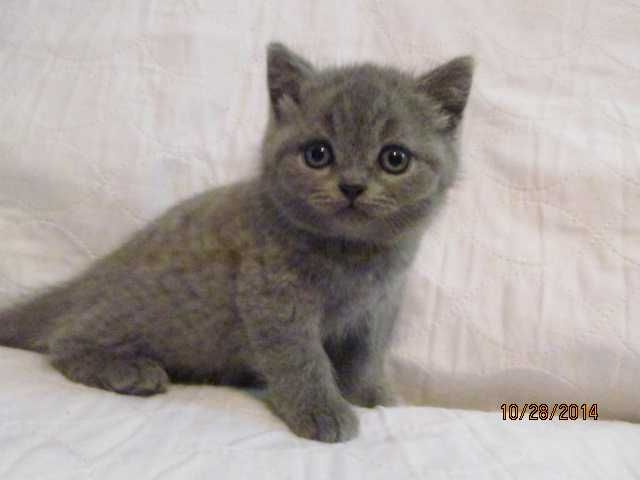 Blonde British Blue Cat Google Search British Blue Cat Tabby Cat Cat Nyc