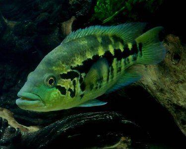 Wolf Cichlid Parachromis Dovii Species Profile Wolf Cichlid Care Instructions Wolf Cichlid Feeding And More With Images Cichlids Tropical Fish Aquarium Aquarium Fish