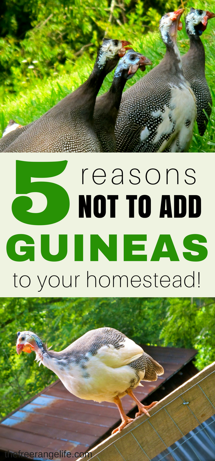 440e1bf87906 Guineas may seem like a great addition to any homestead, and while they  have a lot of good qualities here are 5 reasons why they might not be for  you and ...
