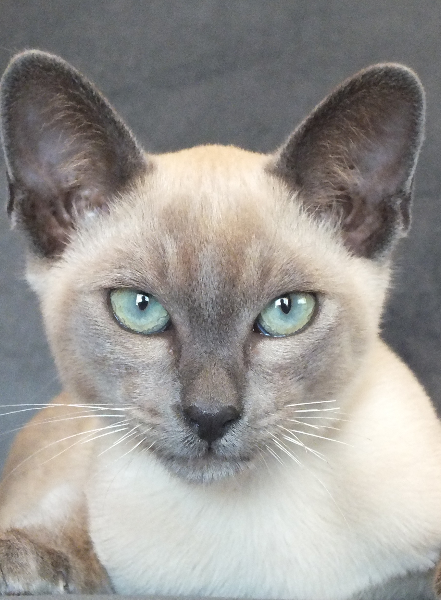 ElSprite Tonkinese & Toygers Tonkinese cat, Cute cats