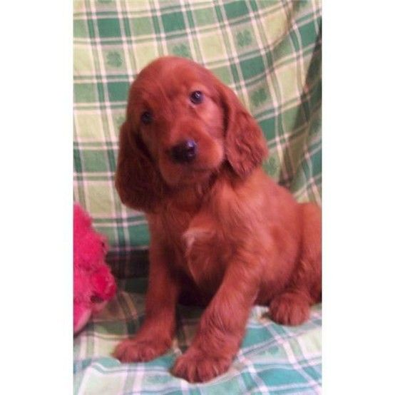 I Love Irish Setters I Know They Don T All Have The Same Temperment I Miss My Rusty I Will Always Miss Irish Setter Puppy Irish Setter Dogs Irish Setter