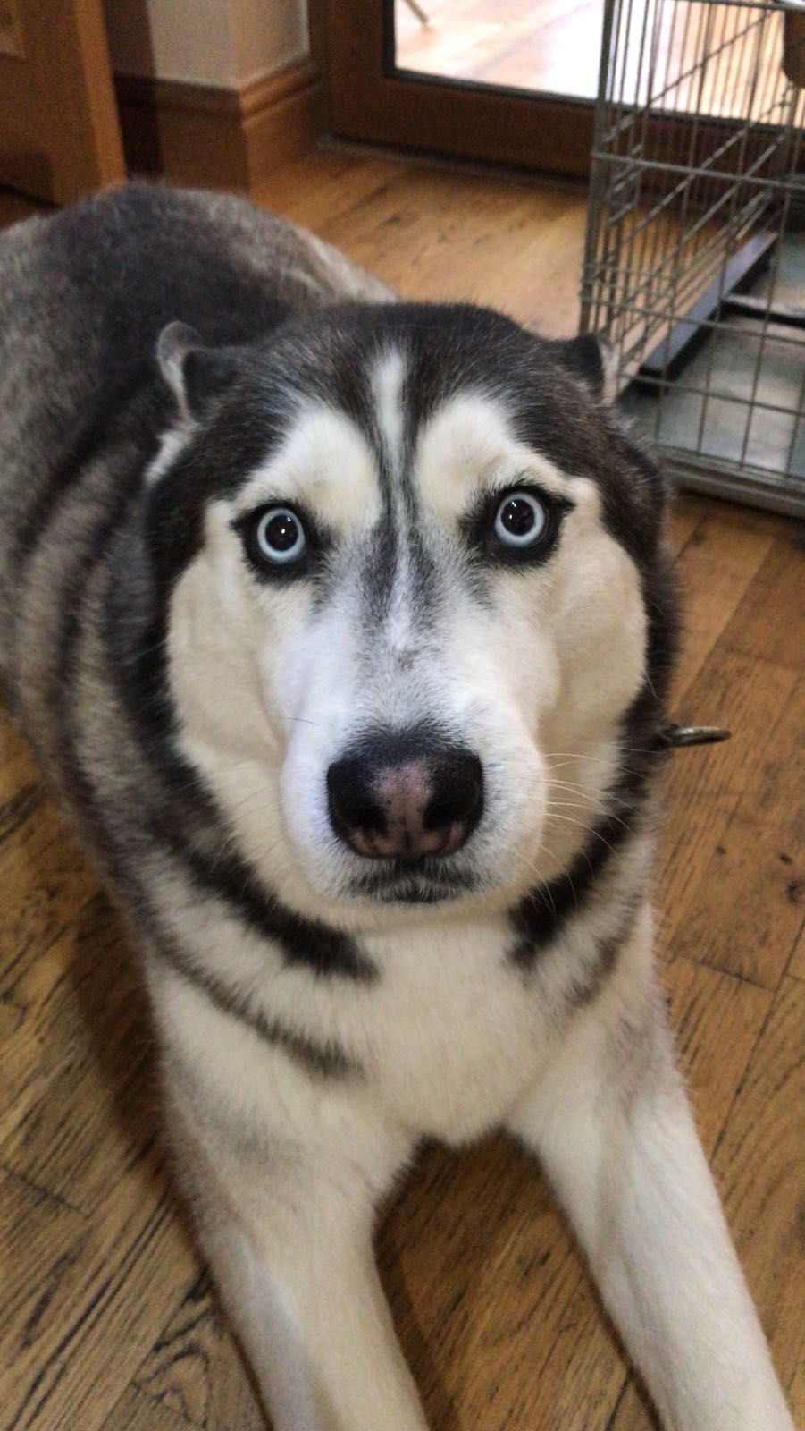Ok So I Look Guilty Husky Dogs Siberian Husky Dog Wolf Husky