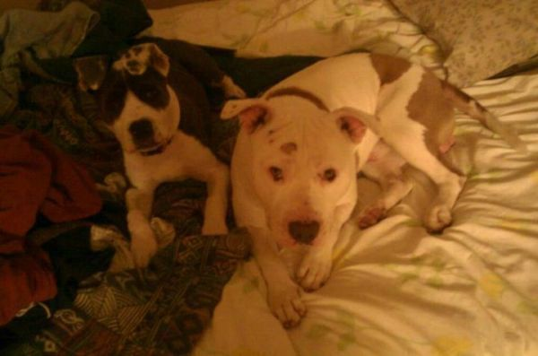 Two Missing Pitbulls From Porter