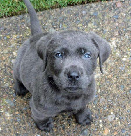 Ozzy the Labrador Retriever-I've never seen a gray lab before
