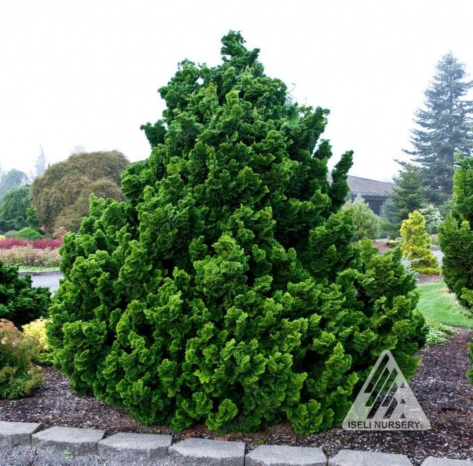 Chamaecyparis Obtusa Nana Gracilis The Most Por And Well Known Dwarf Hinoki False Cypress