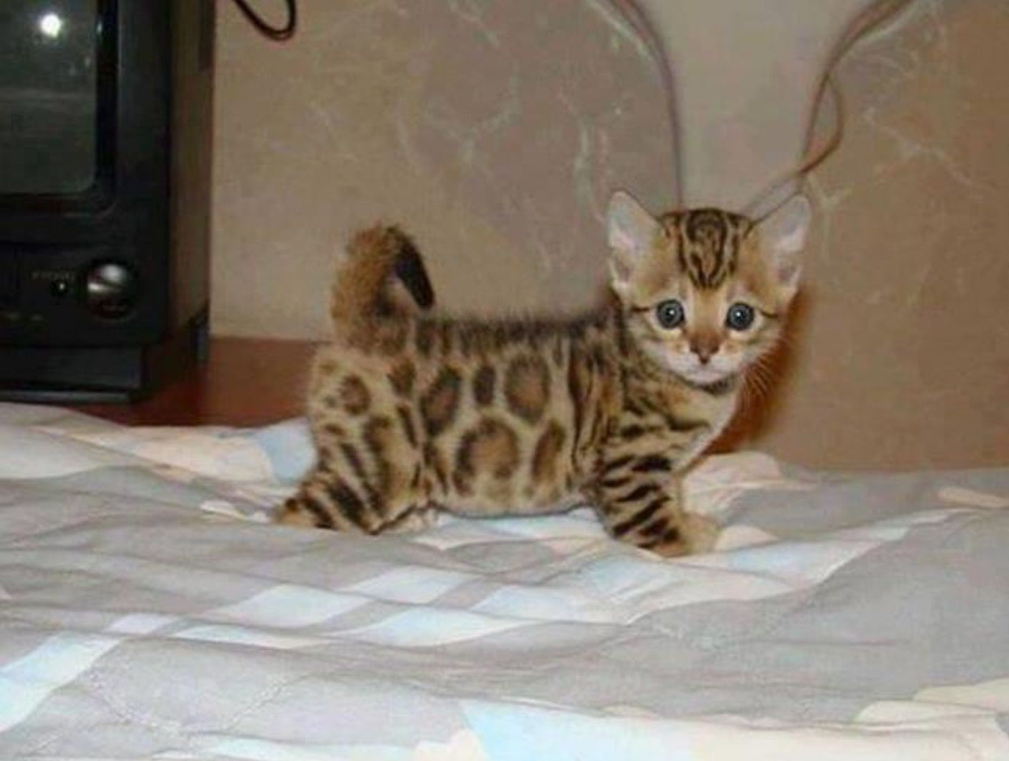 Pin By Christina Collet On Cute Animals In 2020 Bengal Kitten Kittens Cutest Cute Cats And Kittens