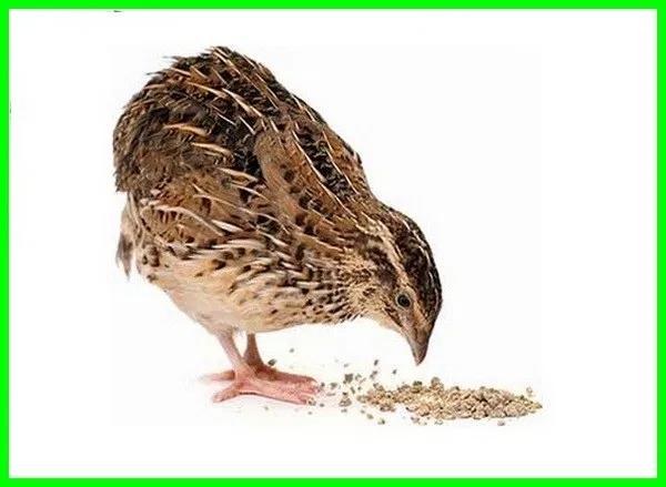6 Nama Hewan Dari Huruf Q Dan Penjelasannya Daftarhewan Com Di 2021 Burung Puyuh Hewan Makanan Burung