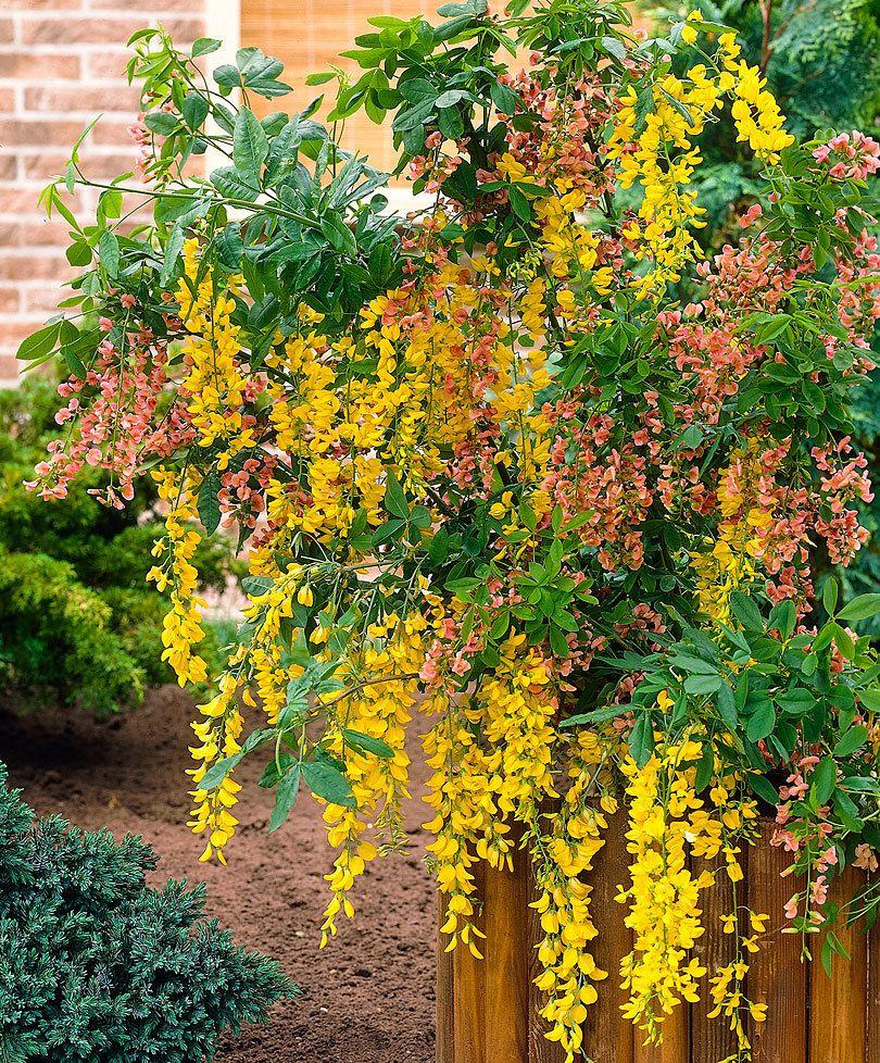 Laburnum Watereri Vossii Edel Goldregen Graser Im Garten Formschnitt Garten Pflanzen