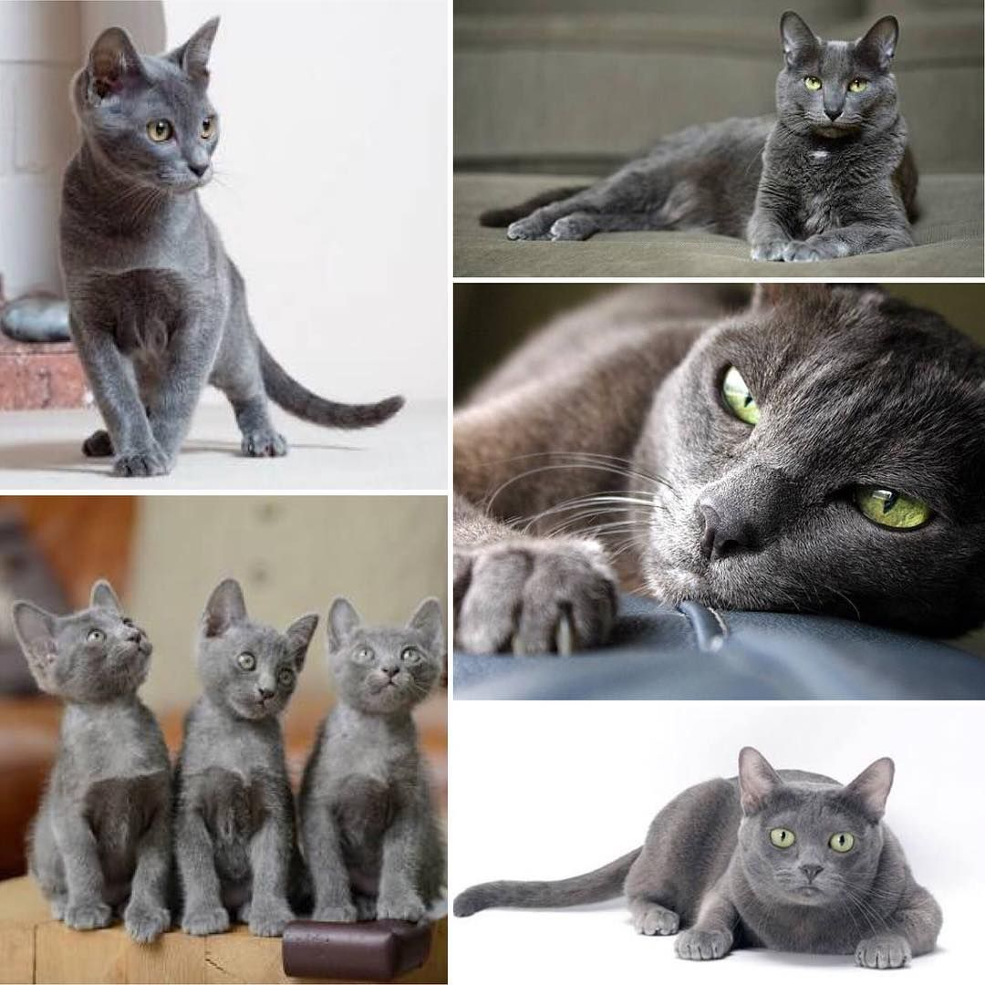 In Thailand The Korat Is Known Colloquially As The Good Luck Cat Traditionally They Are Given In Pairs To Newly Best Cat Breeds Cat Lover Quote Cat Breeds