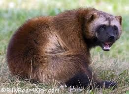 Google Image Result for http://www.billybear4kids.com/animal/whose-toes/wolverine2.jpg