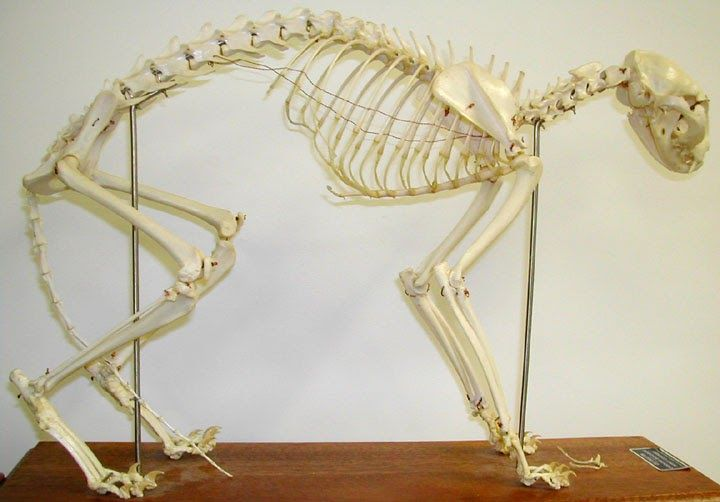 cat skeletal anatomy | curved and interesting roofs, skeletons, ribs ...