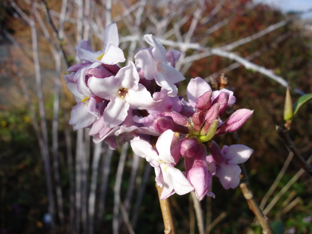 Top Ten Winter Flowering Shrubs – Best Christmas gifts | GrowHort - Grow your Horticultural Knowledge http://igrowhort.com