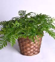Image result for fern plant