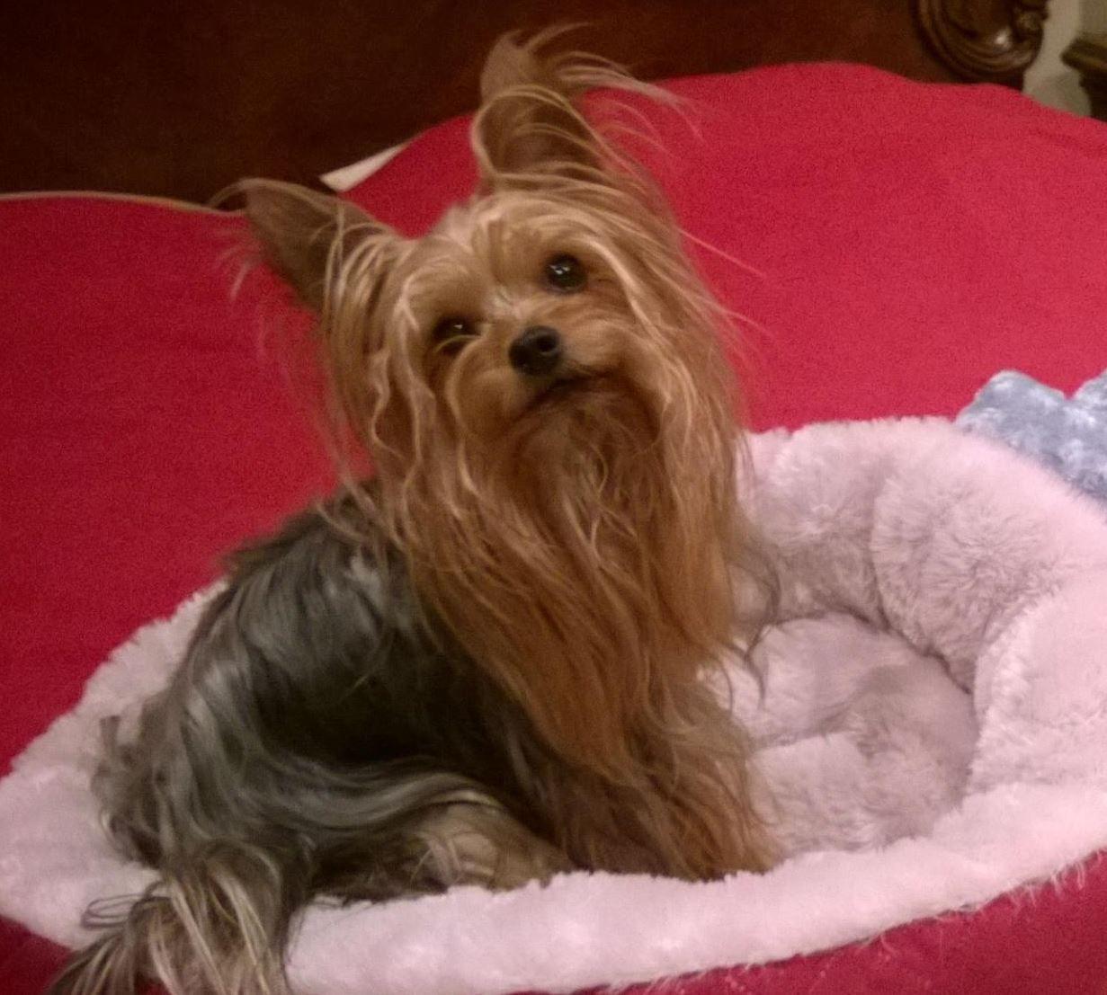 Adopt Trevor On Dog Adoption Yorkie Dogs Dogs