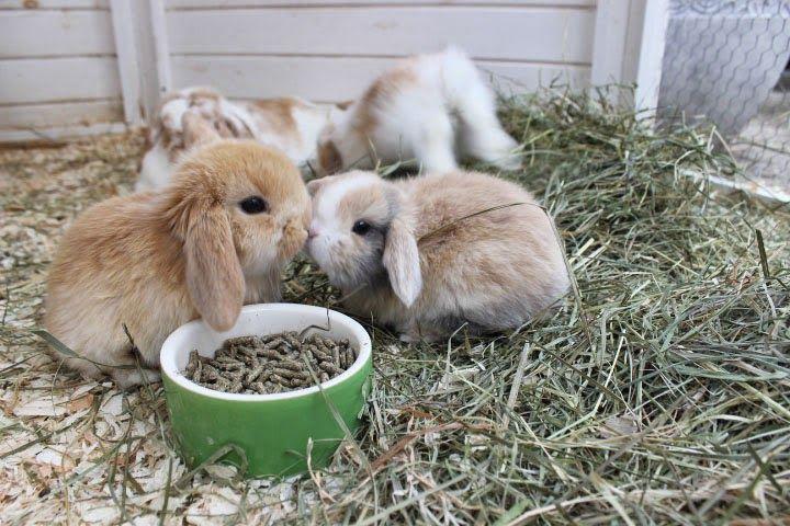 die besten 25 zwergwidder kaninchen ideen auf pinterest zwergwidder kaninchen und hasen. Black Bedroom Furniture Sets. Home Design Ideas