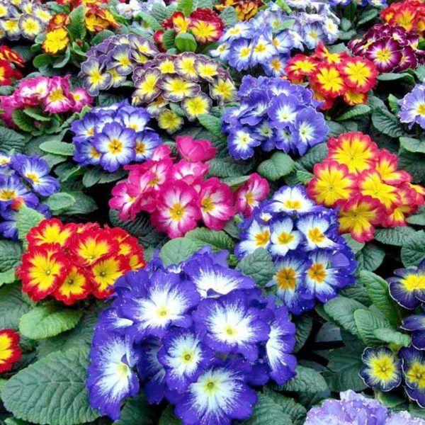 Cuales son las flores de invierno primulas primavera plantas y flores pinterest - Cuales son las plantas con flores ...