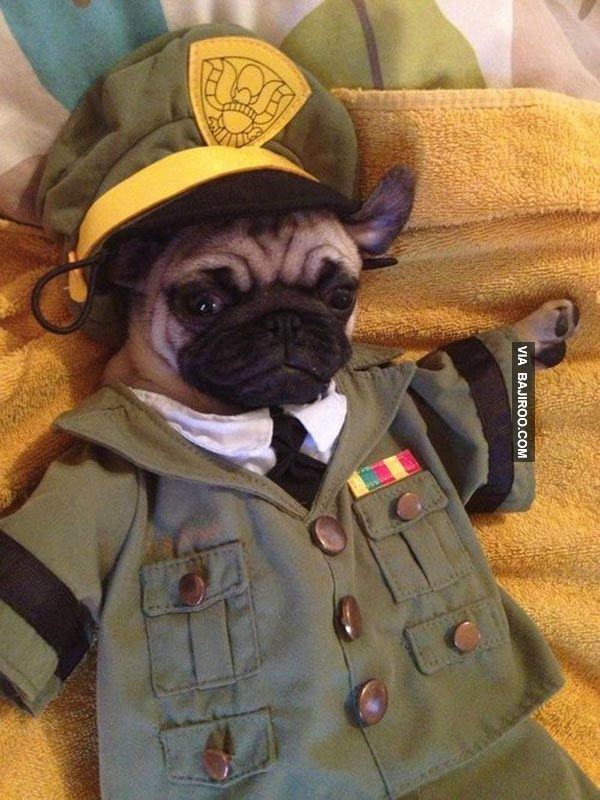 Funny Pug In Army Uniform 26 Pugs In Funny Costumes Cute Pugs