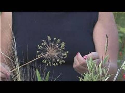 Growing Plants From Seeds : How to Grow Alliums From Seeds. can also be done from just separating bulbs every year