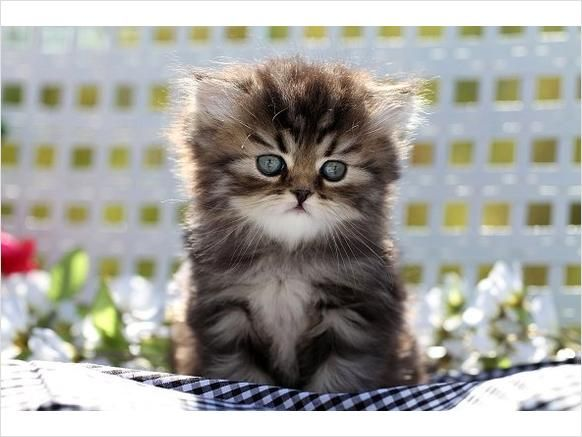 Image detail for Shaded Golden Teacup Persian Kitten
