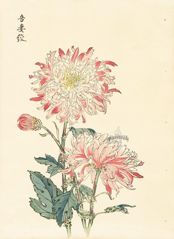 Chrysanthemum Keika Hasegawa Chrysanthemum Wood Block Prints Doubles 1893 Japanese Woodblock Printing Art Japanese Art