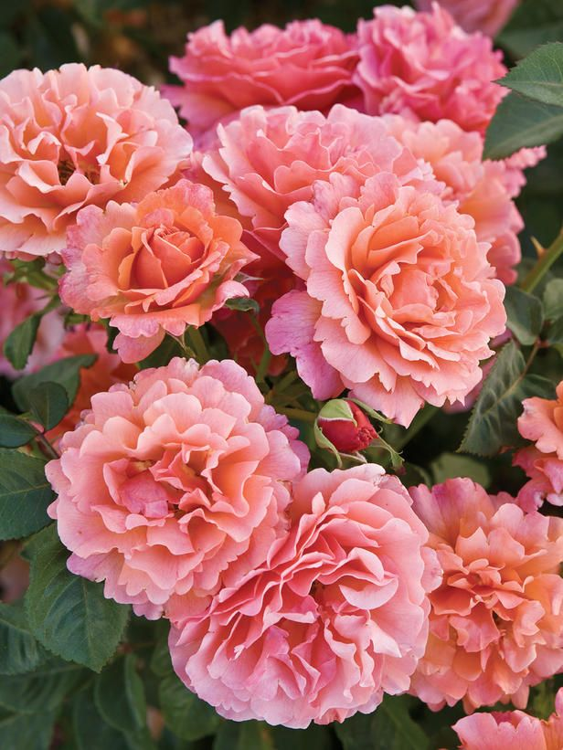 Easy Does It    Judged the best rose of 2010 by All-America Rose Selections, this vigorous, disease-resistant floribunda produces double, ruffled blooms in a blend of peach and light coral. Mature height is about 5 feet. Plant in full sun. USDA Hardiness Zones: 5 to 9
