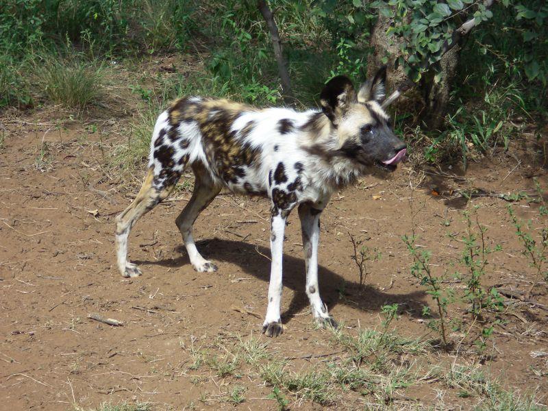 African wild dog beautiful markings pretty dogs