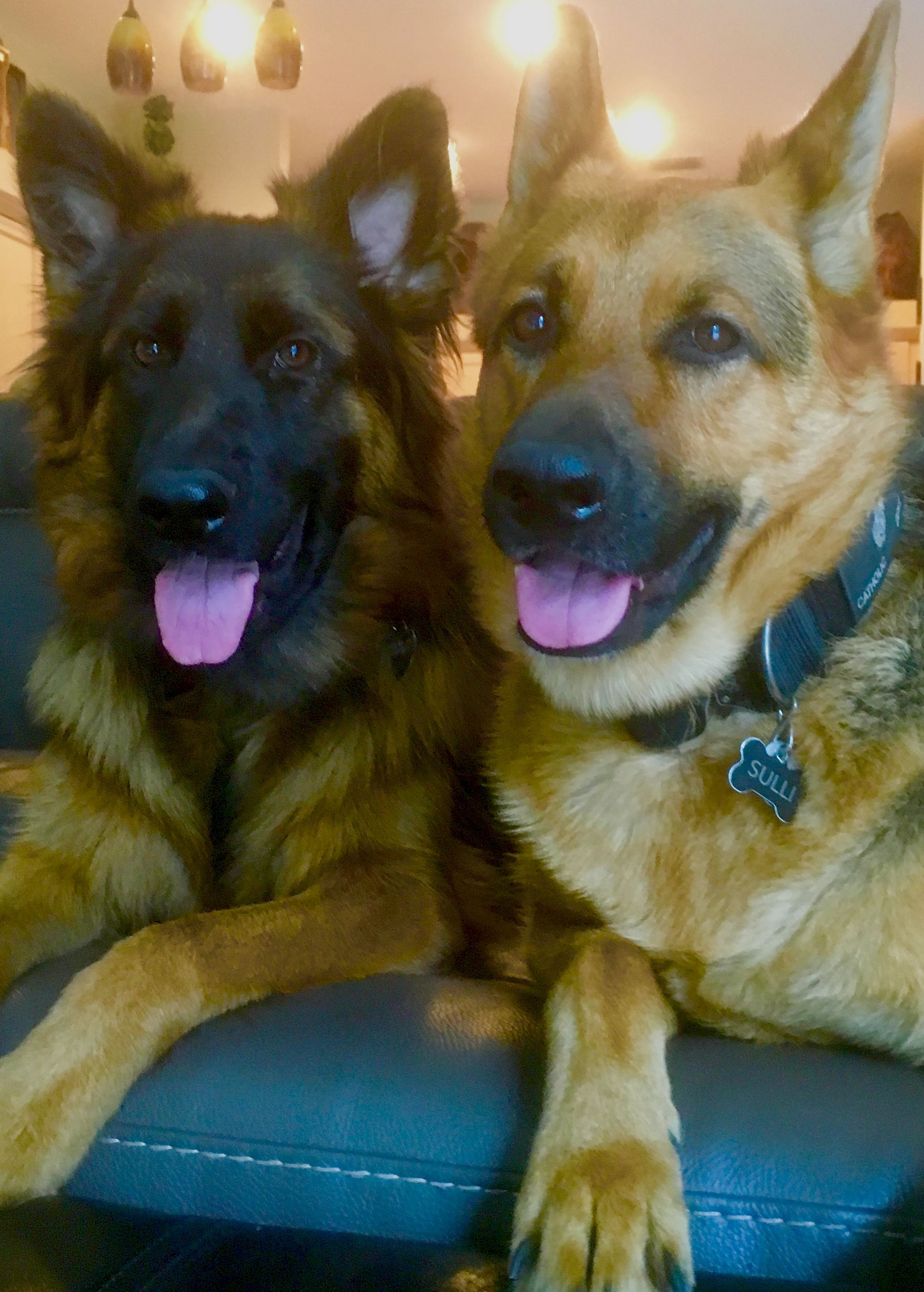 GSDsSulli & Finn Animals, Shepherd dog, Dogs, puppies