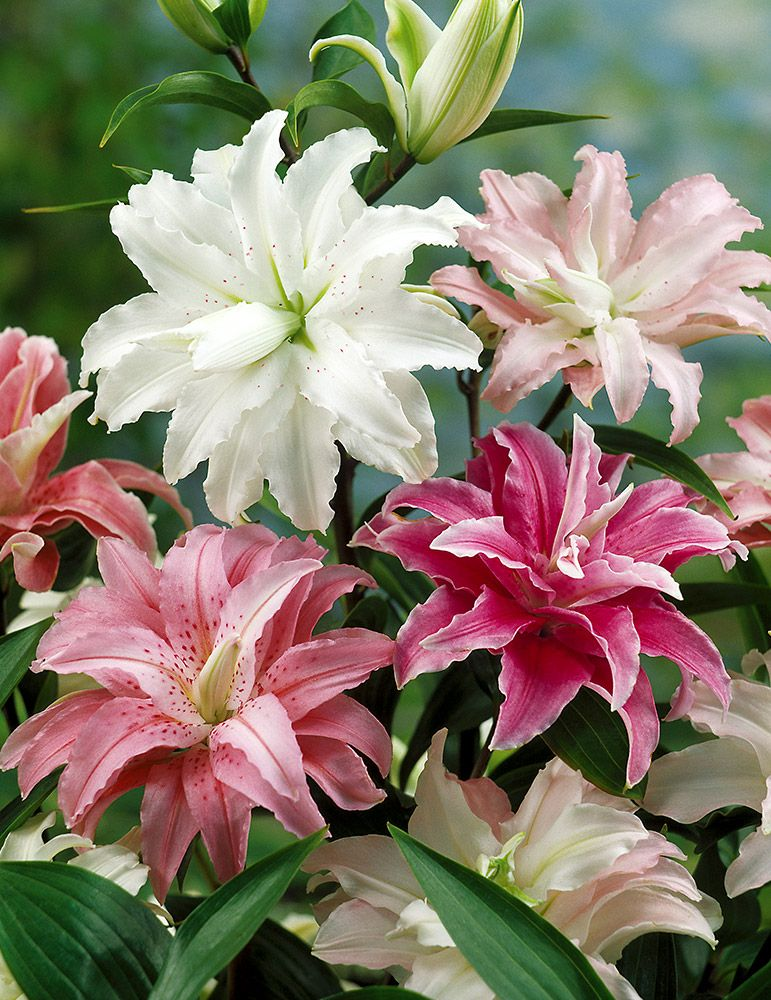 Mixed Double Oriental Lilies