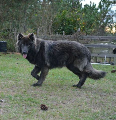 Palm Bay Florida Blue Bay Shepherds Blue Bay Shepherds Florida Blue German Shepherd Puppies Blue German Shepherd Big Dogs