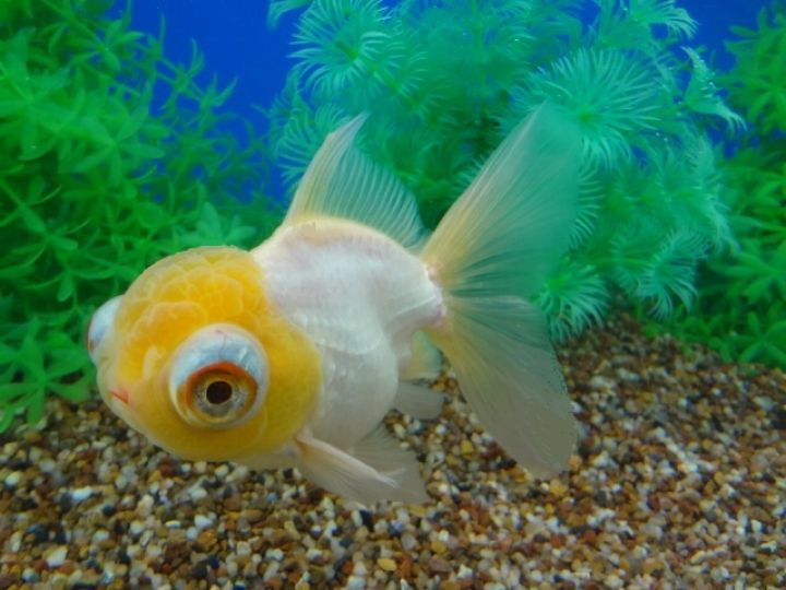 Goldfish Varieties Goldfish Oranda Goldfish Beautiful Fish