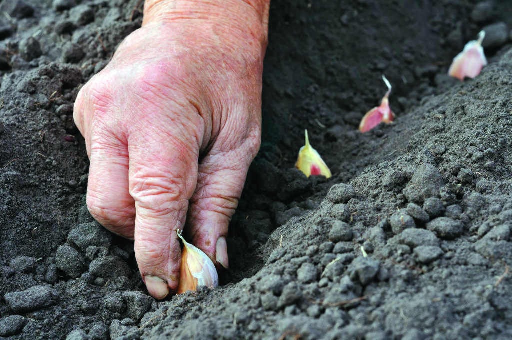 Culture de l'échalote et de l'ail Comment planter des