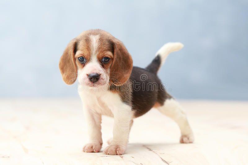 Cute Beagle Puppy Dog Small Cute Beagle Puppy Dog Looking Up Aff Puppy Beagle Cute Cute Small Ad Beagle Puppy Cute Beagles Dogs And Puppies