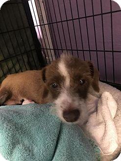 Fort Myers Fl Terrier Unknown Type Medium Dachshund Mix