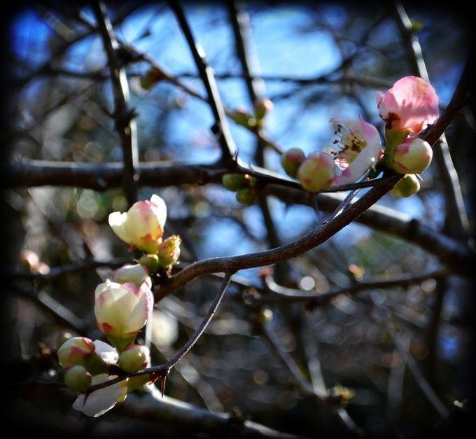 "Photo ""SpringAppleblossom"" by WhiteOak56"