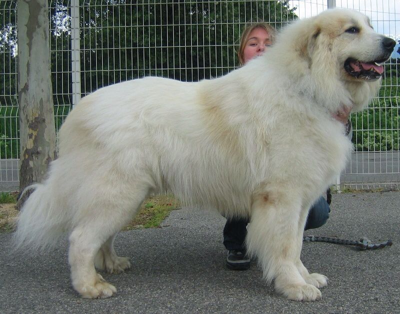 Montagne Des Pyrenees Great Pyrenees Dog